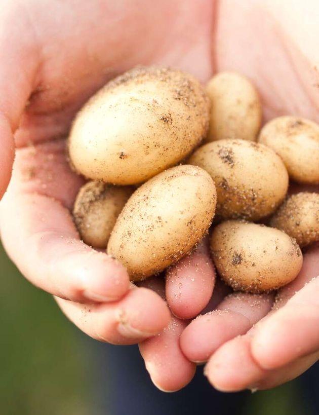 Læggekartofler 1
